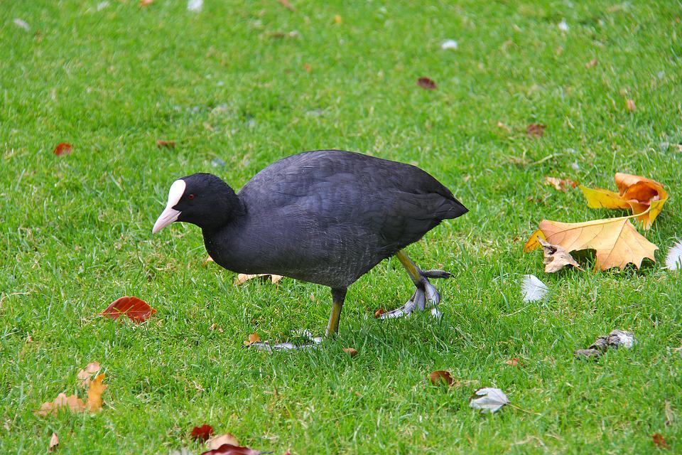 Coot, Bird, Black, White Beak, Grass, Nature, Outdoors