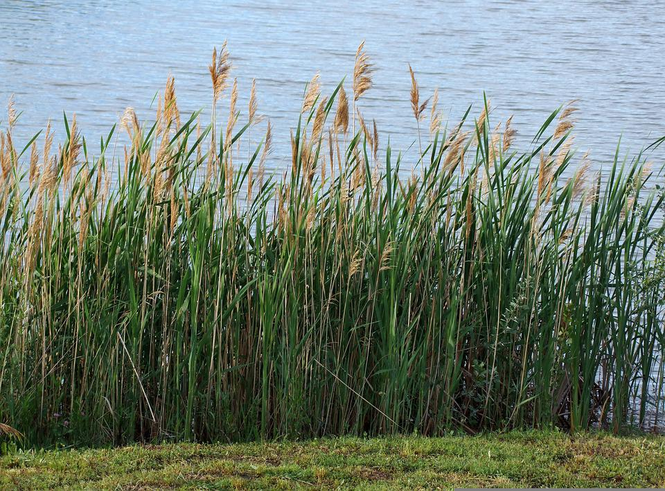 Reed, Botany, Common Reed, Grass Plants, Outdoors