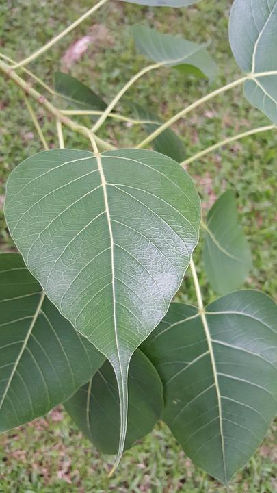 Leaf, Nature, Flora, Outdoors, Tree, Summer, Food