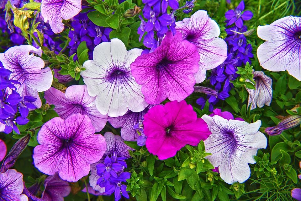 Flower, Flora, Garden, Nature, Outdoors, Summer, Petal