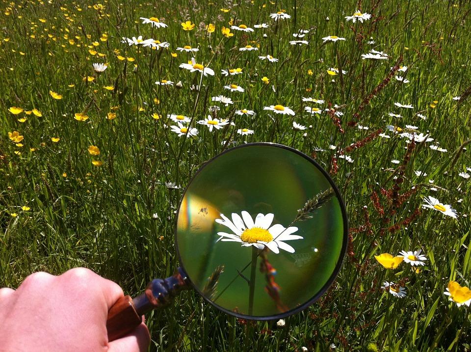 Magnifying Glass, Daisy, Field, Green, Outdoors, Grass