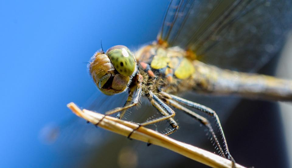Dragonfly, Insect, Macro, Fauna, Fly, Nature, Outdoors