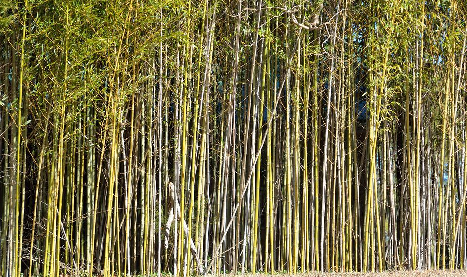 Bamboo Trees, Background, Bamboo, Outdoors, Landscape