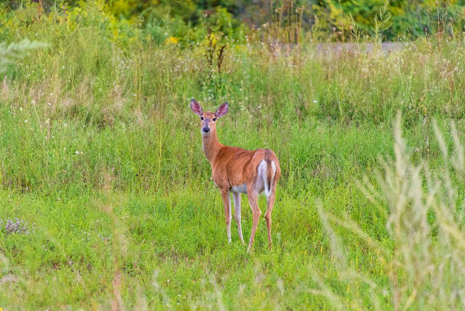 Deer, Nature, Wildlife, Outdoors, Young, Field, Meadow
