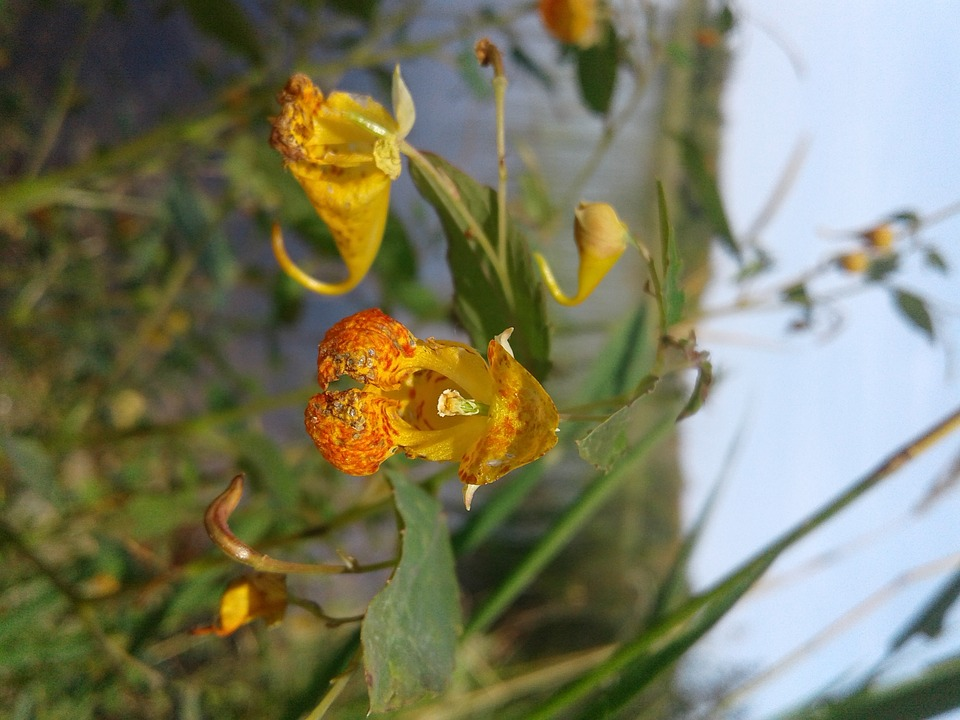 Wildflower, Minnesota, Lake, Nature, Outdoors, Flora