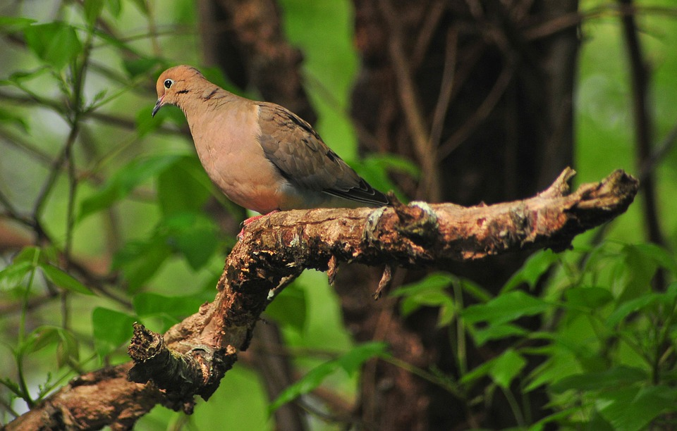 Bird, Nature, Outdoors, Ornithology, Forest, Dove