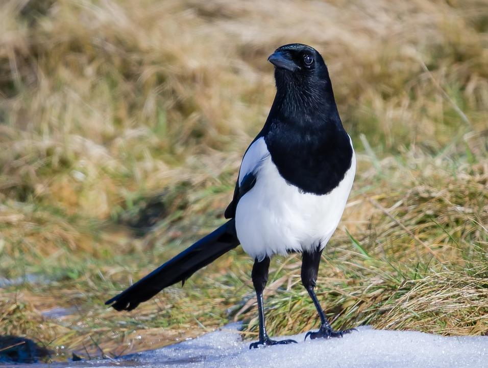 Wildlife, Nature, Bird, Animal, Outdoors, Magpie, Snow