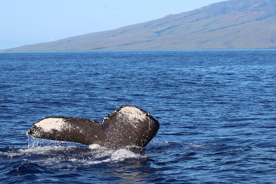 Water, Sea, Nature, Ocean, Outdoors, Whale Tail