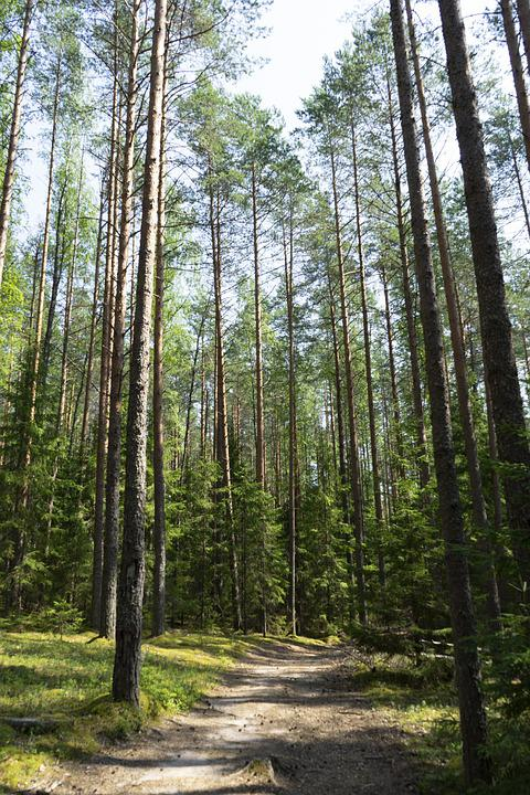 Forest, Wilderness, Trees, Outdoors, Pine, Tourism