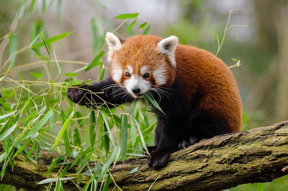 Red Panda, Leaves, Branch, Outdoors, Wildlife, Fox