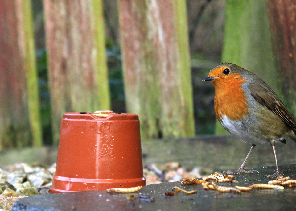 Bird, Nature, Robin, Outdoors, Mealworms, Winter