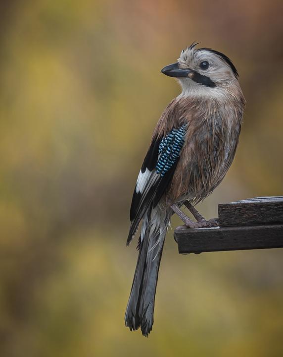 Mockingbird, Bird, Songbird, Animal, Outdoors