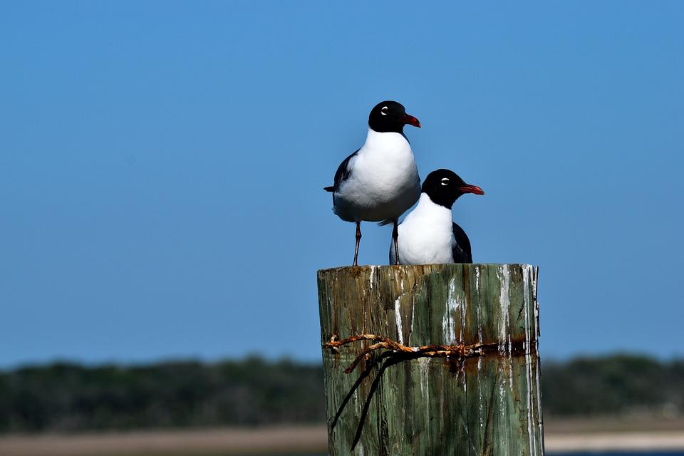 Bird, Wildlife, Nature, Outdoors, Sky, Laughing Gull