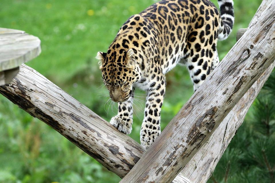 Leopard, Spotted, Cat, Nature, Outdoors, Wildlife