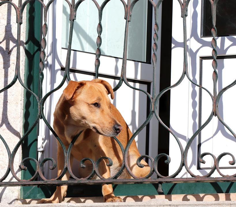 Dog, Nature, Animal, Cute, View, Outlook, Balcony, Door