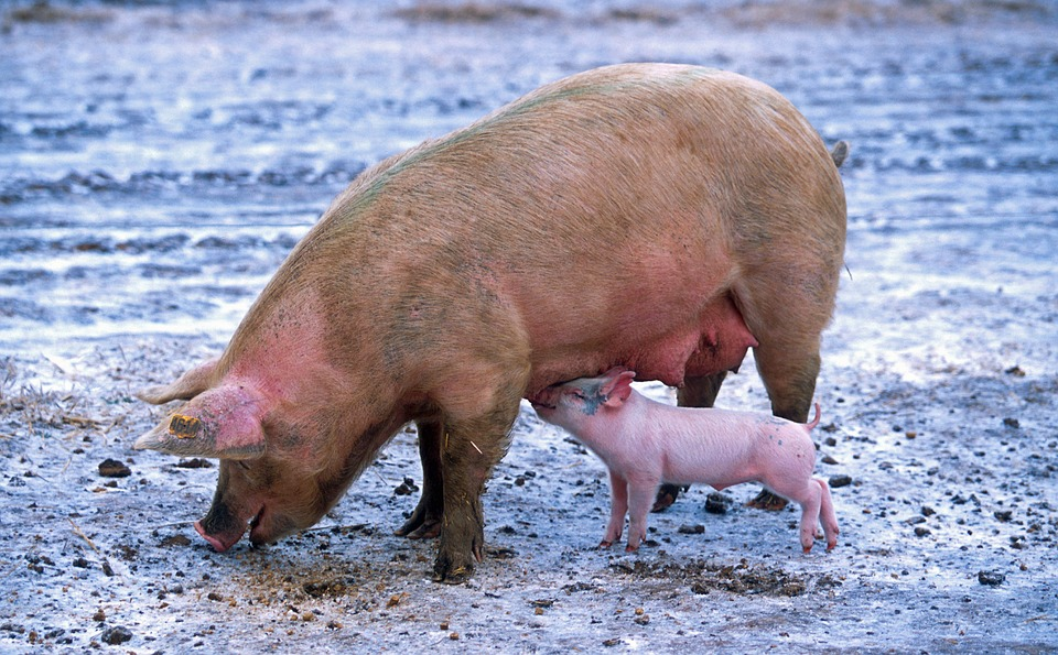 Pig, Sow, Piglet, Nursing, Animals, Cute, Outside