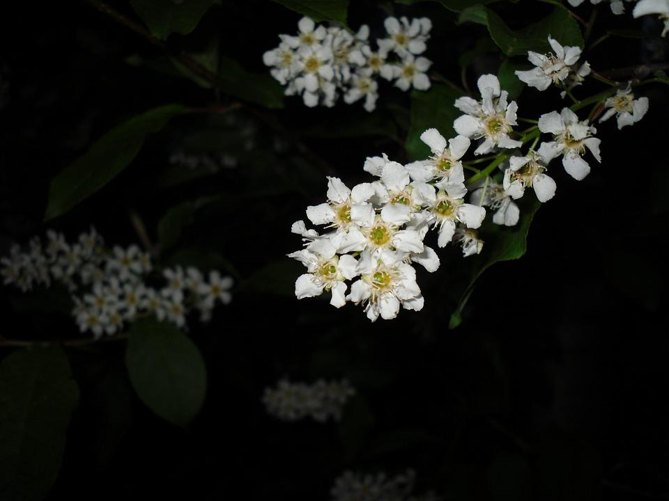 Bird, Cherry, Tree, Branch, Flower, Outside, Summer