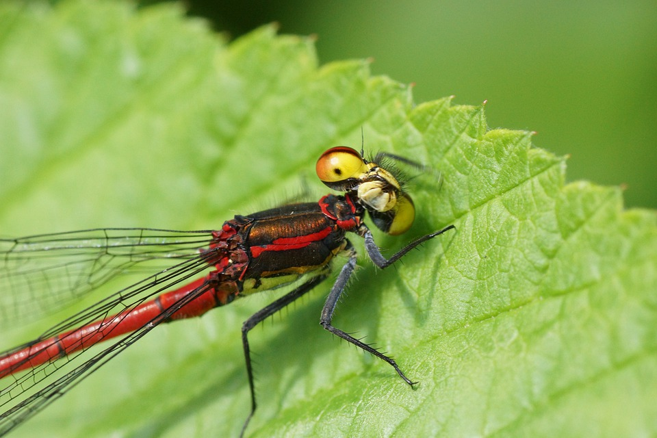 Damselfly, Fly, Leaf, Nature, Outside, Close-up, Macro