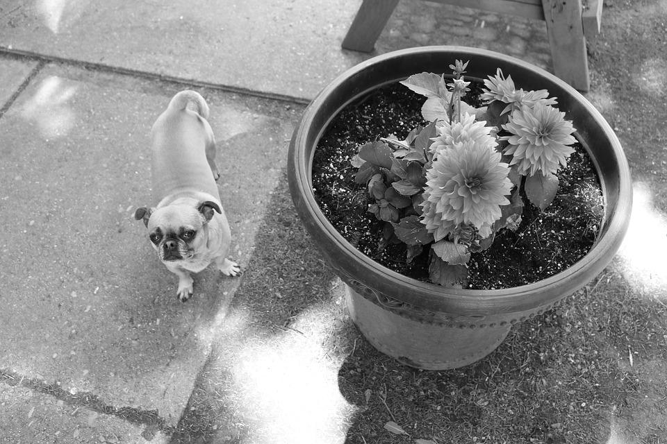 Dog, Chihuahua Mix, Dog And Flowers, Outside, Nature