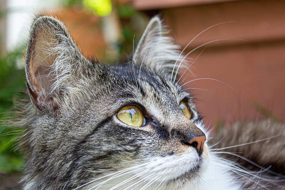 Cat, Young, Looking, Outside, Yellow, Eyes, Domestic