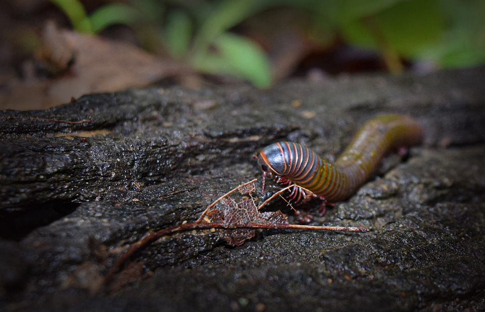 Centipede, Nature, Centipedes, Insect, Insects, Outside