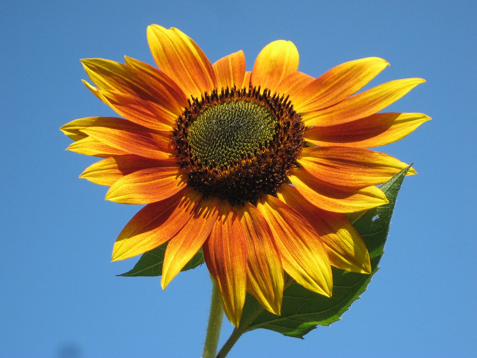 Sunflower, Plant, Nature, Outside, Beautiful, Macro
