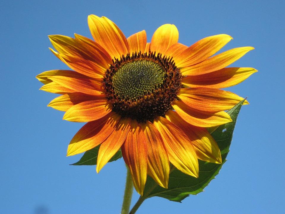 Sunflower, Plant, Nature, Outside, Beautiful, Macro