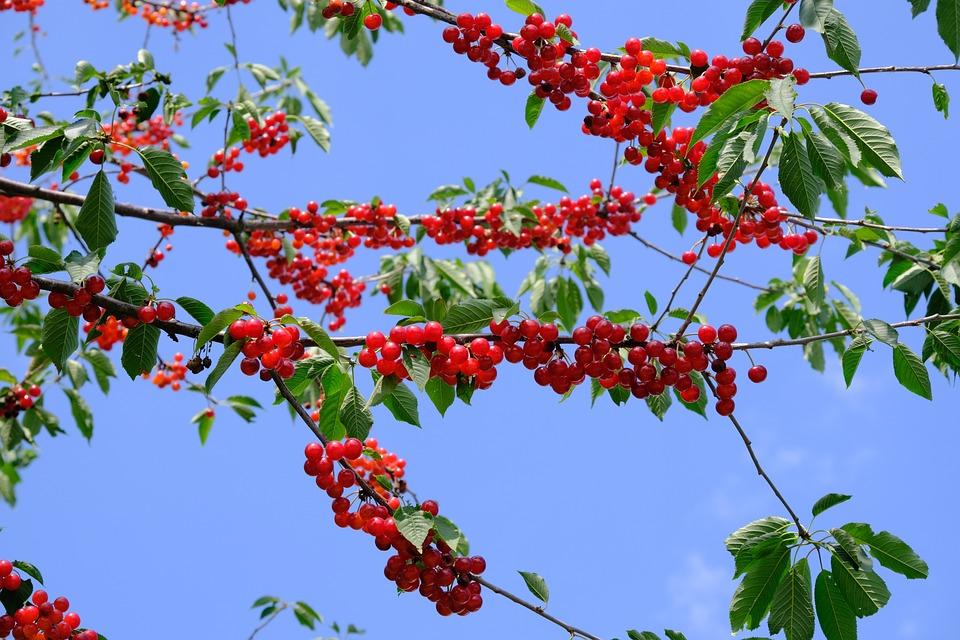 Cherries, Sour Cherries, Cherry Abundance, Overflowing