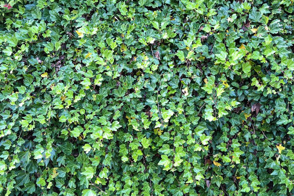 Ivy, Ivy Hedge, Overgrown, Plant, Leaf, Leaves