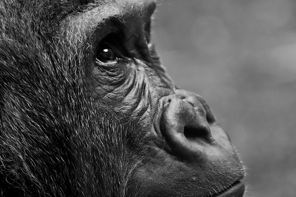 Gorilla, Monkey, Animal, Overview, Furry, Portrait, Zoo