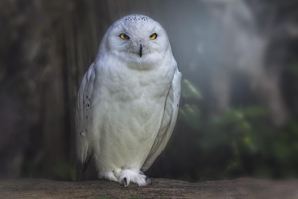 Raptor, Owl, Bird, Animal World, Plumage, Bird Portrait
