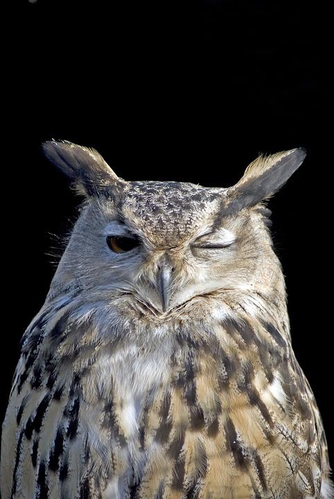 Owl, Wink, Bird, Feather, Winking