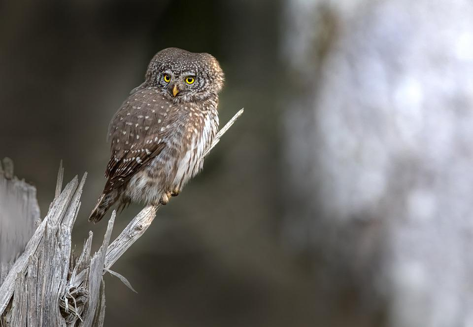Owl, Eurasian Pygmy Owl, Branch, Perched