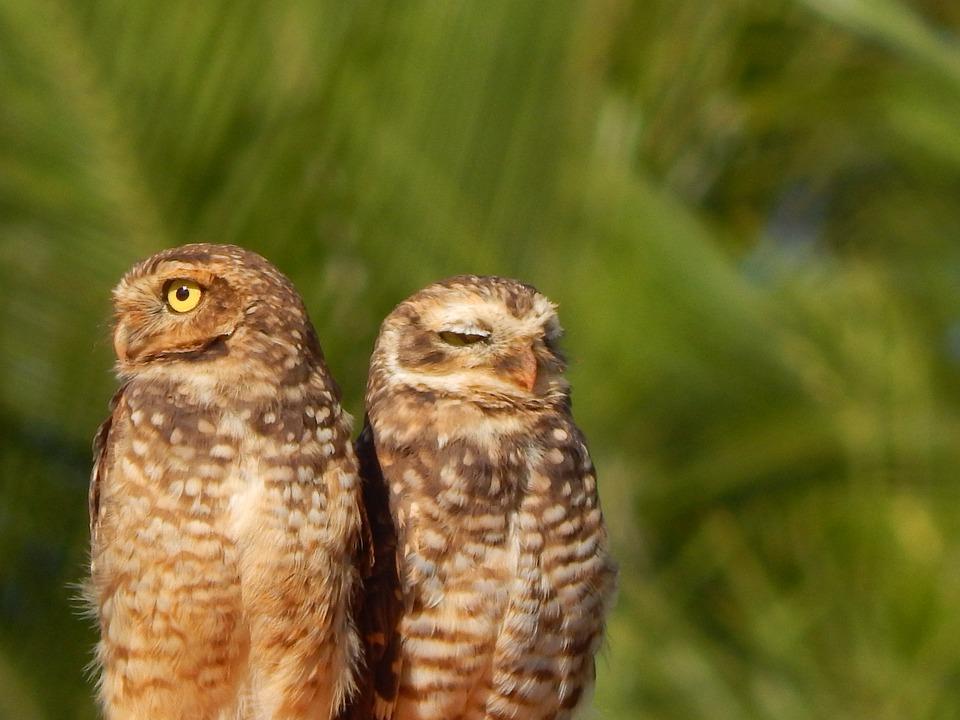 Owl, Burrowing Owl, Bird