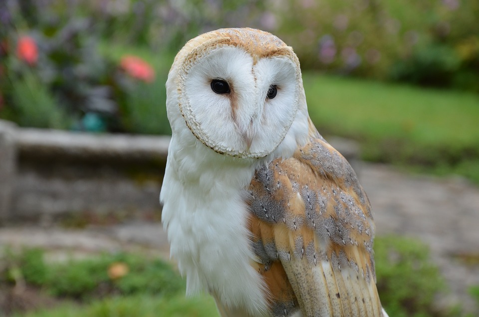 Barn Owl, Owl, Bird, Falconry, Bird Of Prey