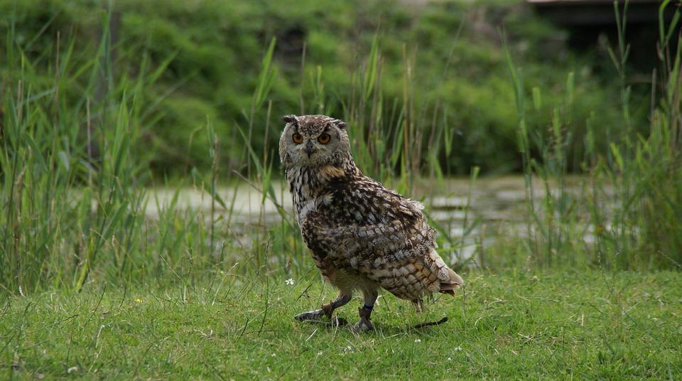 Hoenderdaell, Rock Eagle Owl, Owl