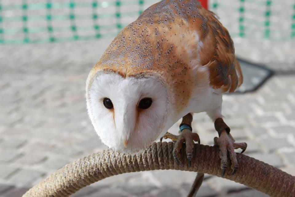 Barn Owl, Owl, Hunter, Bird Of Prey, Bird, Zoo