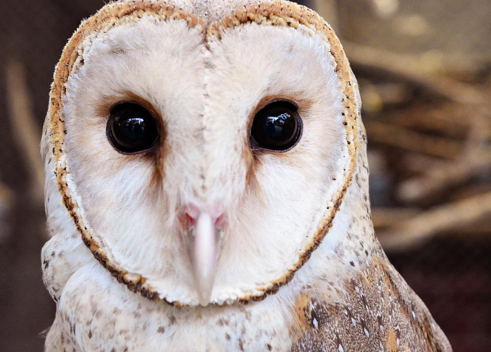 Owl, Bird, Animal, Wildlife, Portrait, Animal Eye