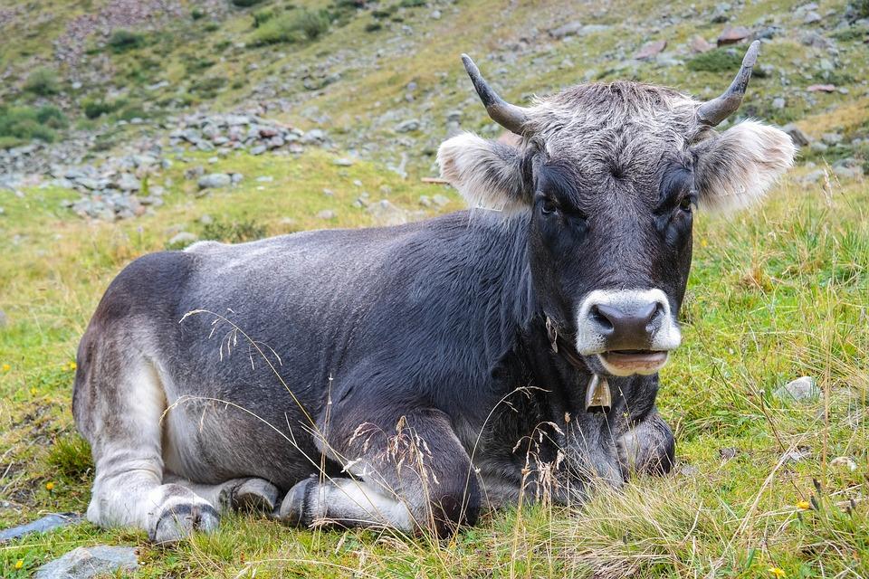 Cow, Beef, Ox, Bull, Horns