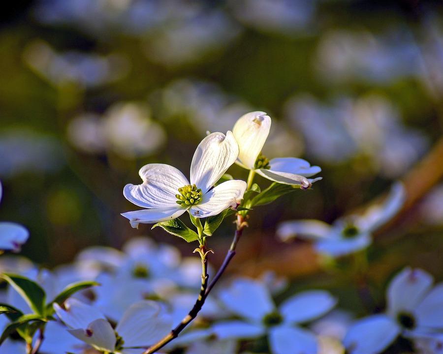 Ozarks Dogwood Blossoms, Dogwood, Flowers, Spring