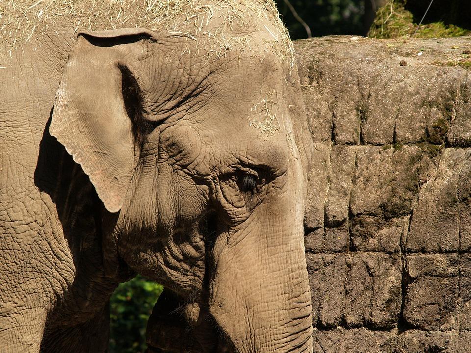 Elephant, Indian Elephant, Pachyderm, Zoo, Animal