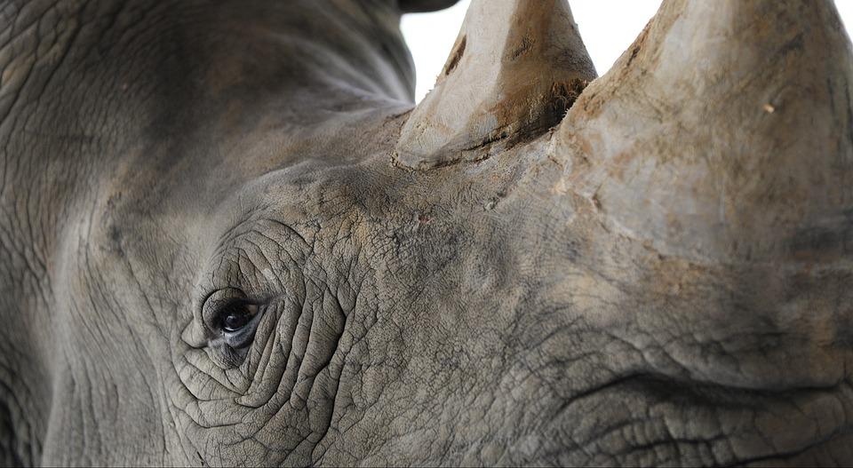 Rhinoceros, Closeup, Pachyderm, Animals, Horn, Zoo