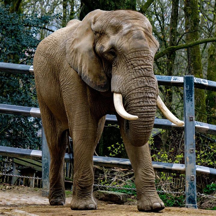 Elephant, Animal, Zoo, Wildlife, Mammal, Pachyderm