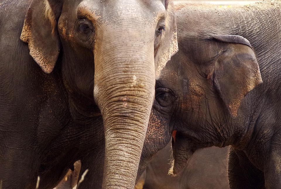 Elephant, Mammal, Animal World, Pachyderm, Zoo