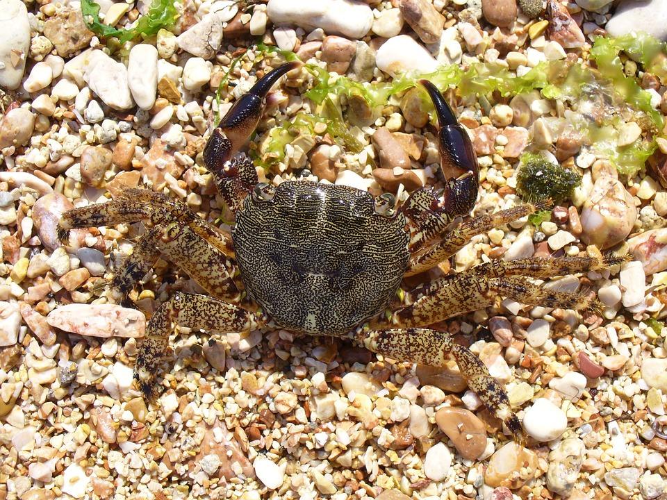 Crab, Cancer, Square Crab, Pachygrapsus Marmoratus
