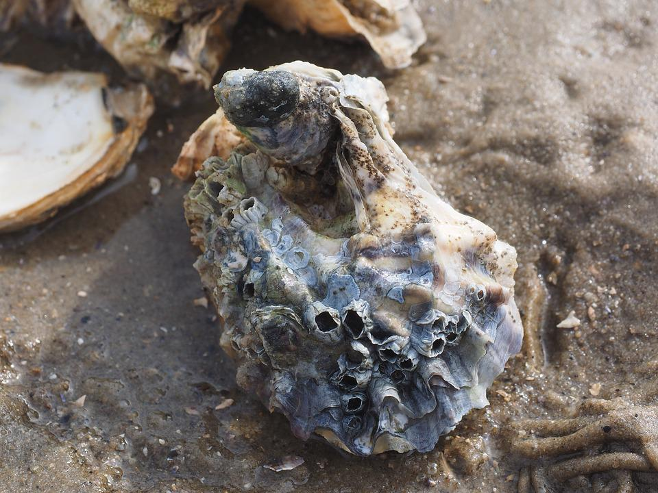 Pacific Oyster, Oyster, Shell, Crassostrea Pacifica