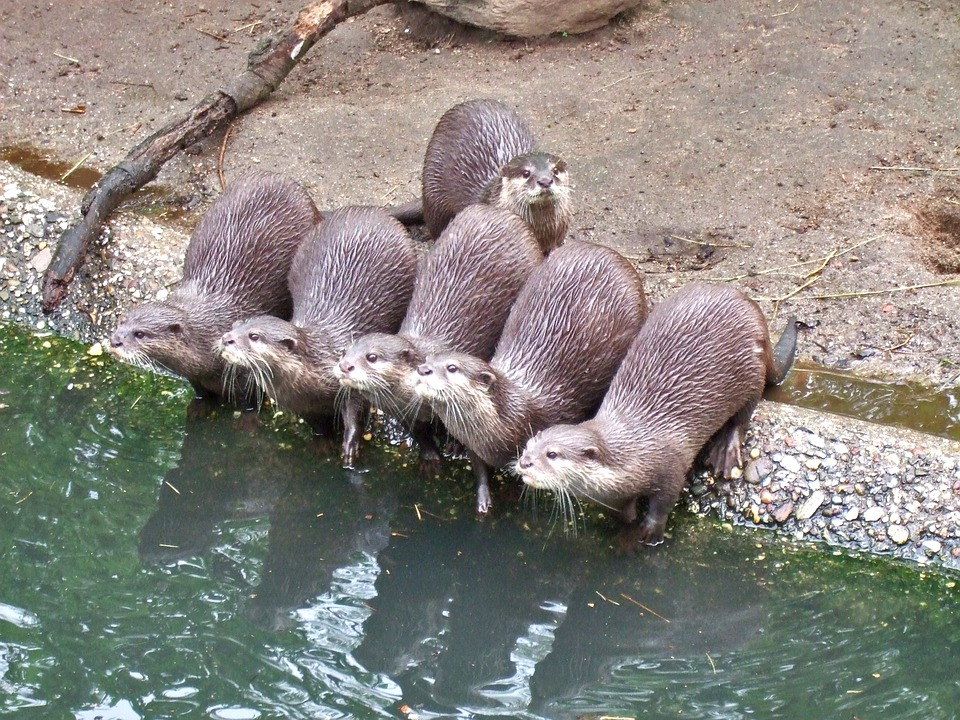 Clawed Otter, Water, Animals, Nature, Zoo, Otter, Pack