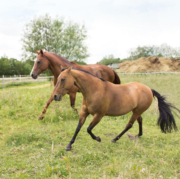 Paddock, Horses, Pasture, Run