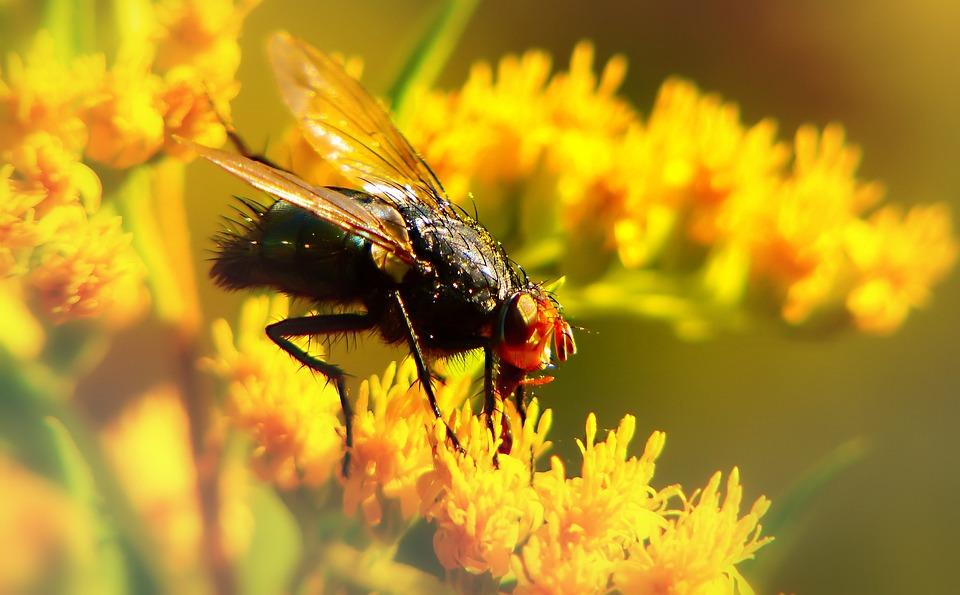 Padlinówka Imperial, Insect, Muchówki, Flower, Antennae