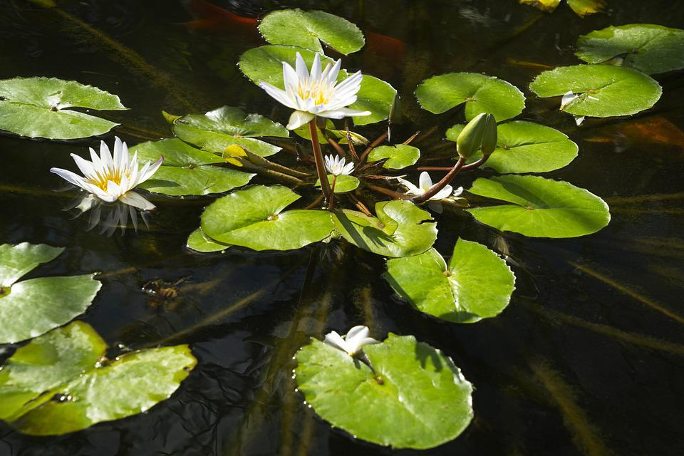 Water Lilies, Pond, Flowers, Pads, Blossoms, White